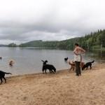 Alla sexton hundarna på promenad på stranden.